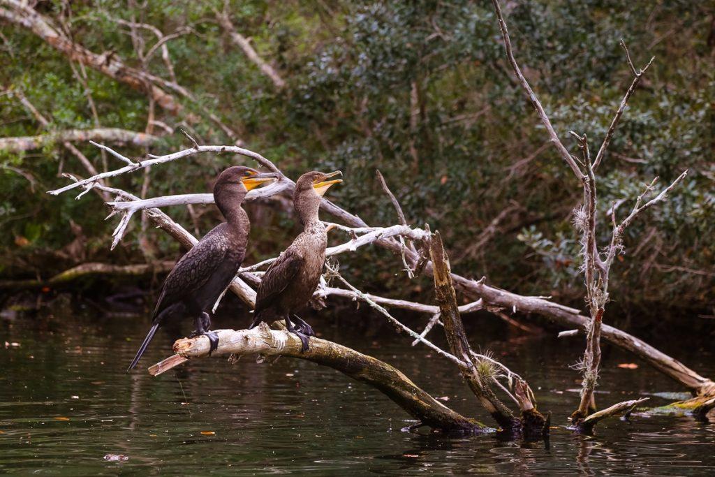 florida Chassahowitzka National Wildlife Refuge birds