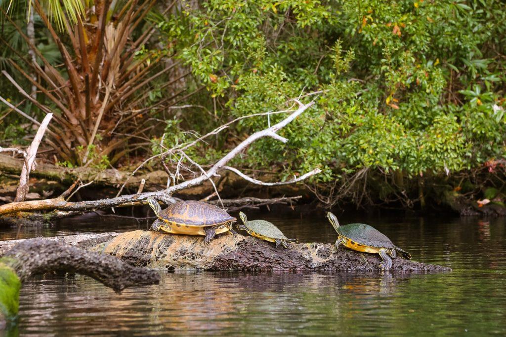 florida Chassahowitzka National Wildlife Refuge turtles