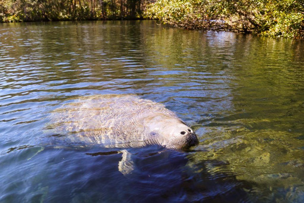 florida Chassahowitzka National Wildlife Refuge manatee