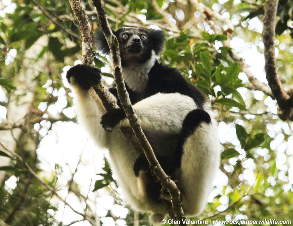Indri Madagascar