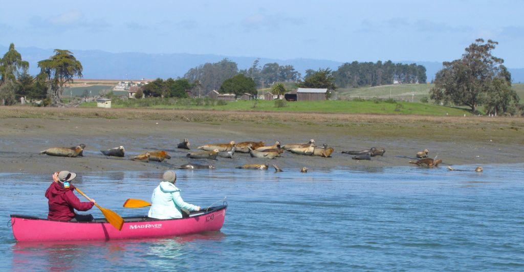 Monterey Kayak Seals