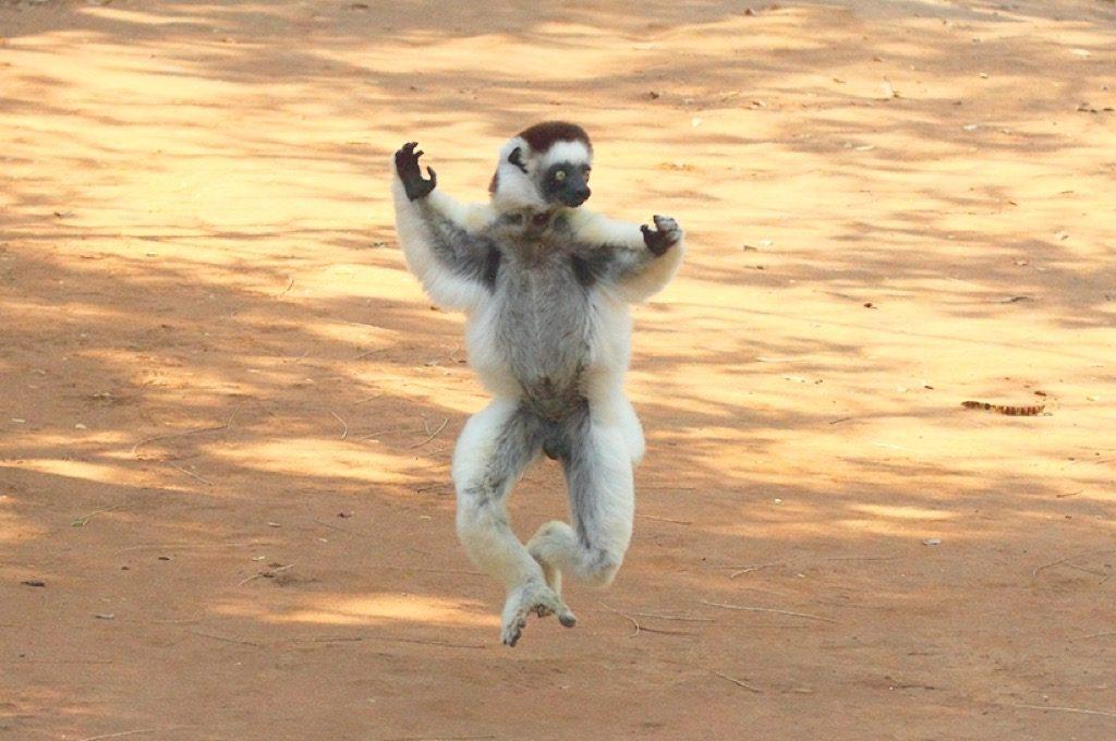 Vereauxs Sifaka Madagascar