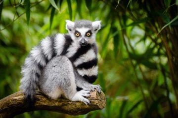 lemur Madagascar wildlife