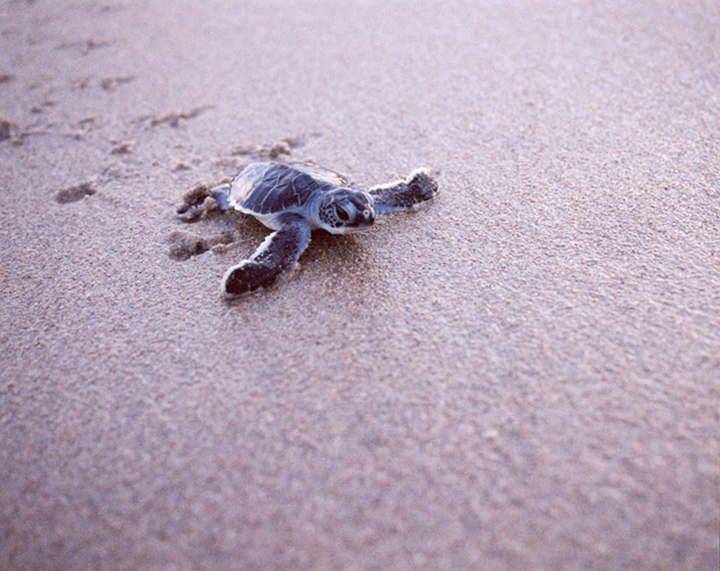 Baby Sea Turtle Beach