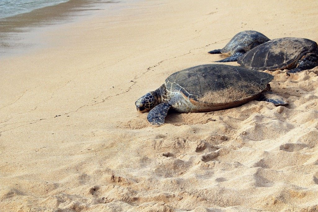 Sea Turtles on beach