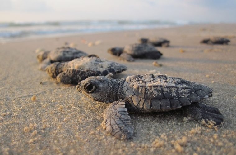 sea turtles Juara Turtle Project