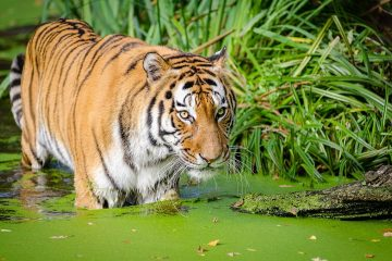 rainforest indonesia tiger tropical vacation