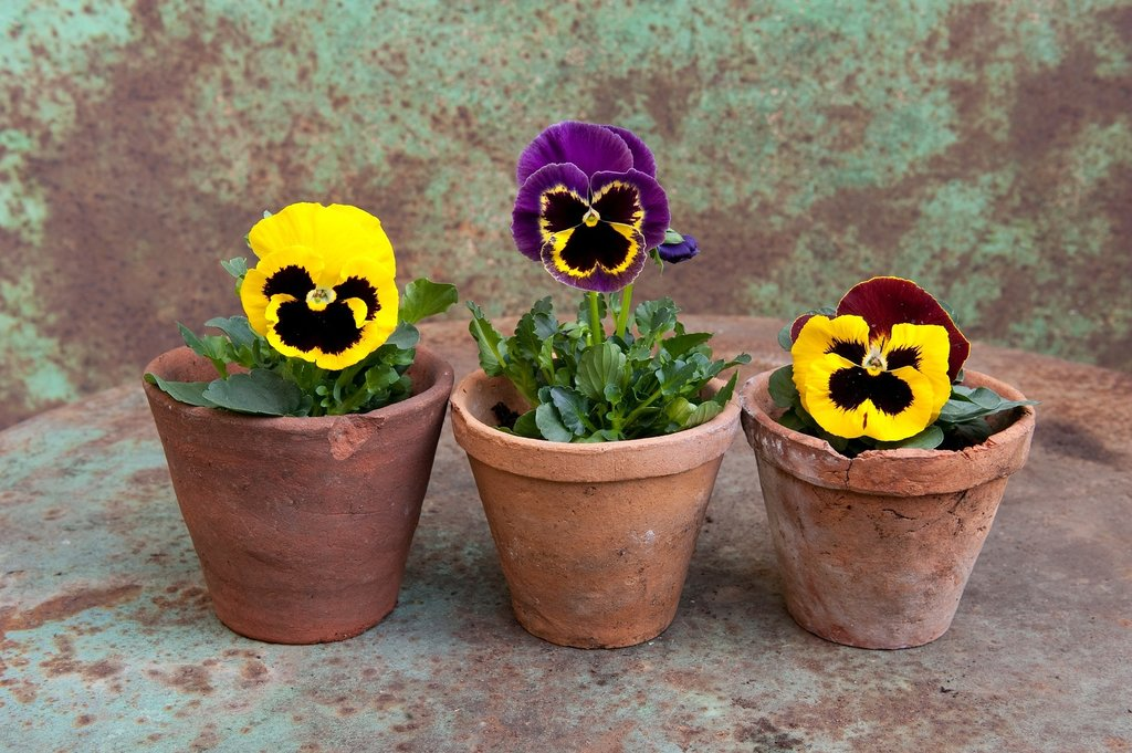 Pansy potted plant