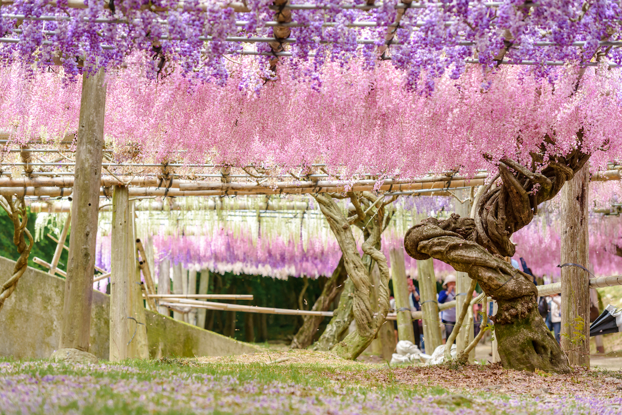 Wisteria Flowers seen from ground in japan