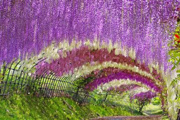 Wisteria Tunnel Japan travel