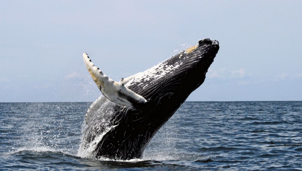 Humpback Cape Cod Whale Watching tours