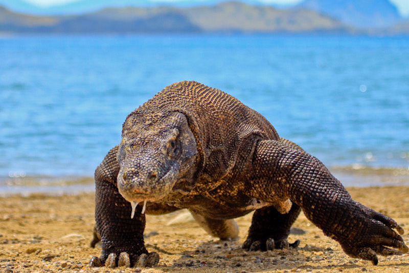 Komodo Dragon National Park, Indonesia