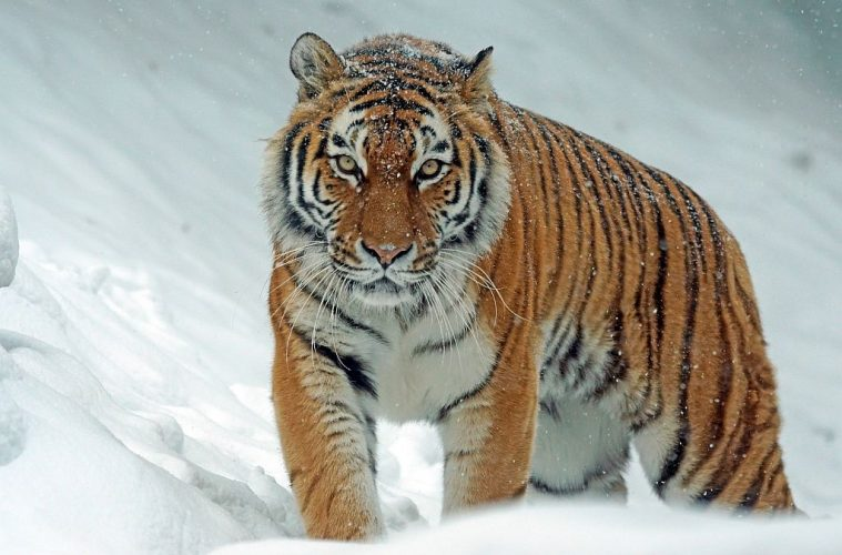 Zov Tigra National Park in Primorsky Krai, Russia where to see tigers