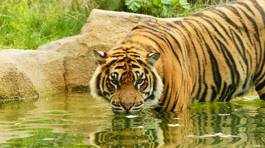 International tiger day 7 pawfect places to see tigers - Felin de la savane ...
