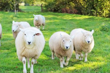 green farm kent sheep farm stay future of food