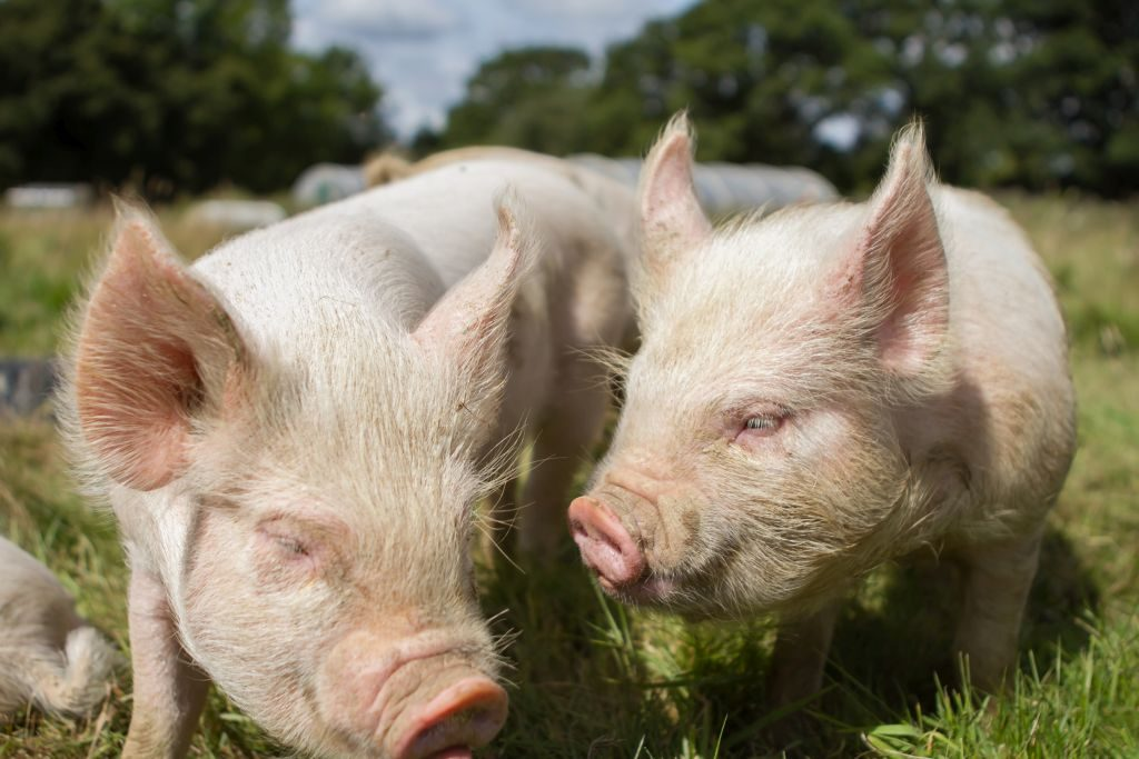 piggy love at green farm kent
