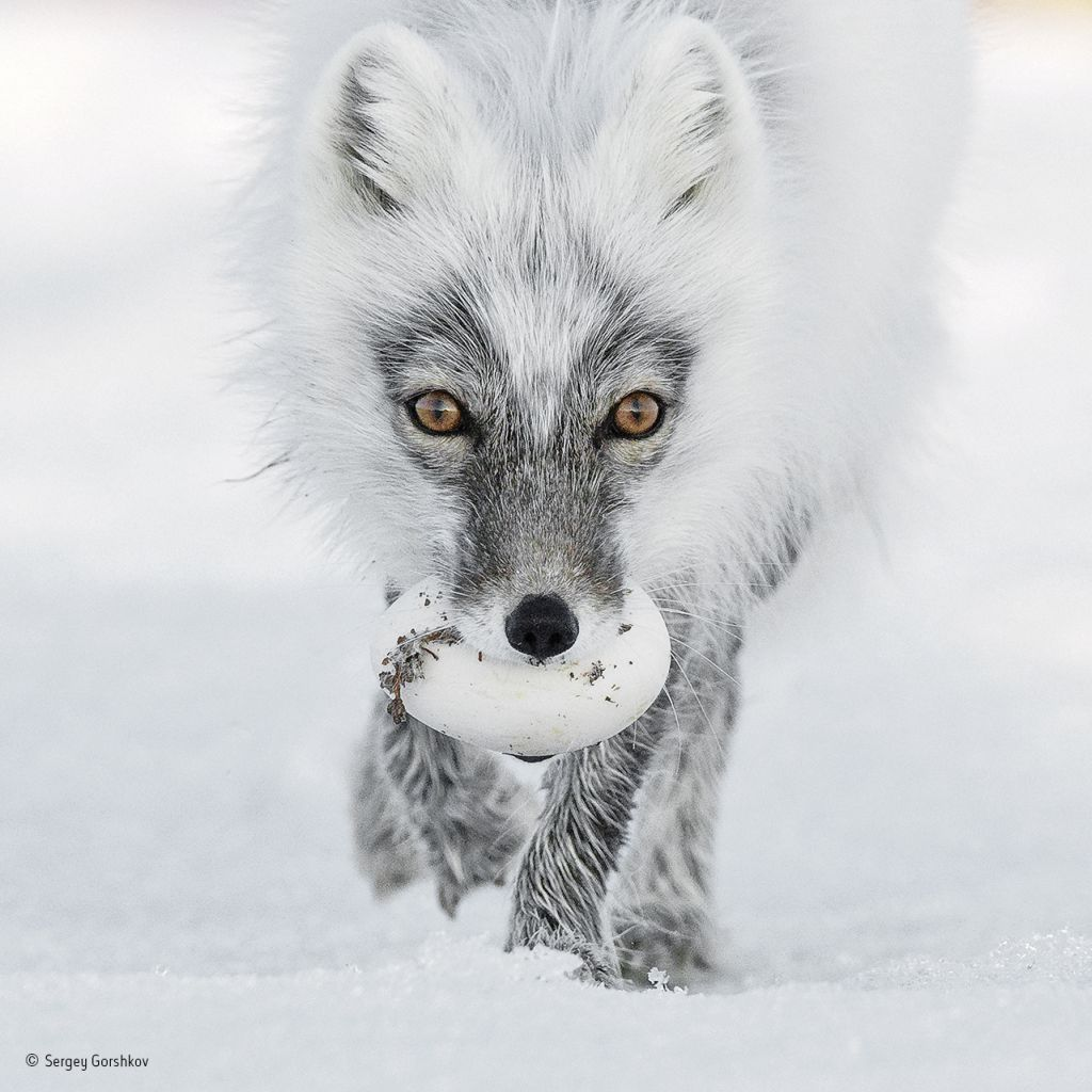 Arctic-treasure-©-Sergey-Gorshkov-Wildlife-Photographer-of-the-Year