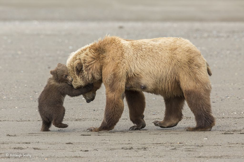 Bear Hug ©-Ashleigh-Scully-Wildlife-Photographer-of-the-Year
