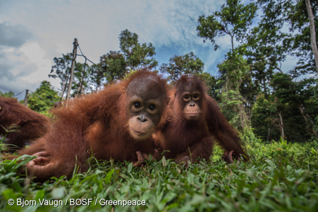 Why are orangutans orange? Fab Orangutan Facts You Probably Didn't Know