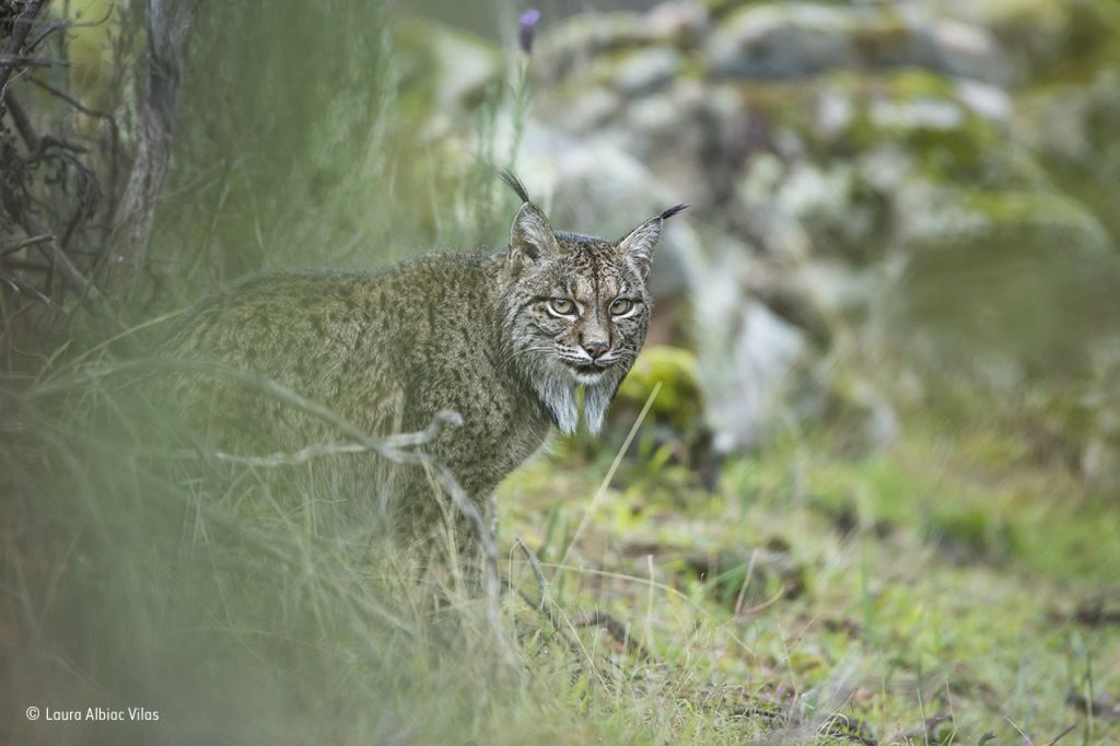 Glimpse of a lynx © Laura Albiac Vilas - Wildlife Photographer of the Year - 1024 x 682