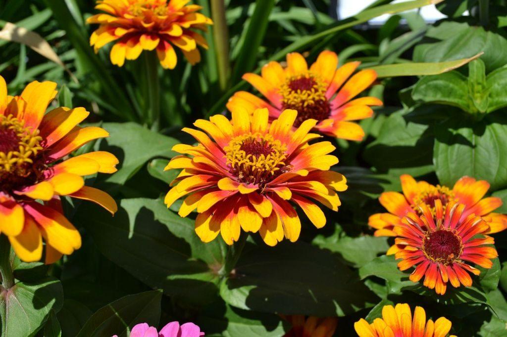 zinnias gardening tips