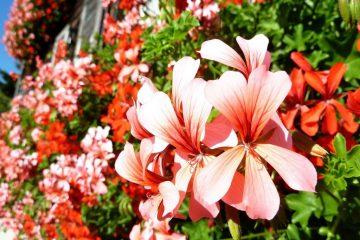 garden - late summer gardening tips