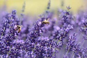 Lavender gardening tips