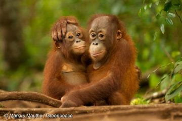 Young Orangutans hugging in Nyaru Menteng Orangutan reintroduction project near Palangka Raya, Central Kalimantan. Nyaru Menteng Orang-Utan Auswilderungsprojekt bei Palangka Raya in Kalimantan auf Borneo. Auffangstation der Organisation BOSF (Borneo Orangutan Survival Foundation). Junge Orang-Utans (Pongo pygmaeus) umarmen sich.