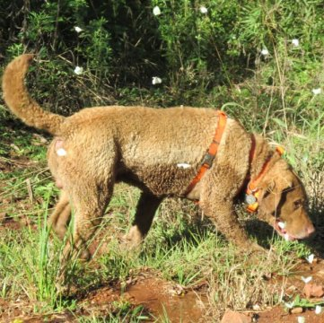 Research dogs can help endangered carnivores
