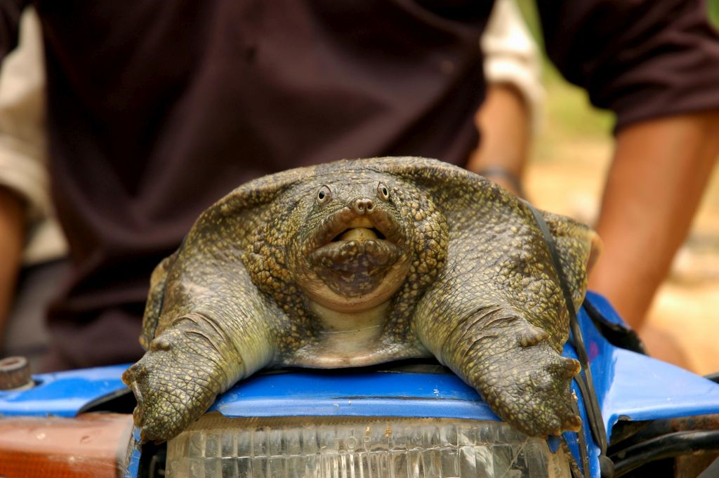 Soft shell turtle Indonesia