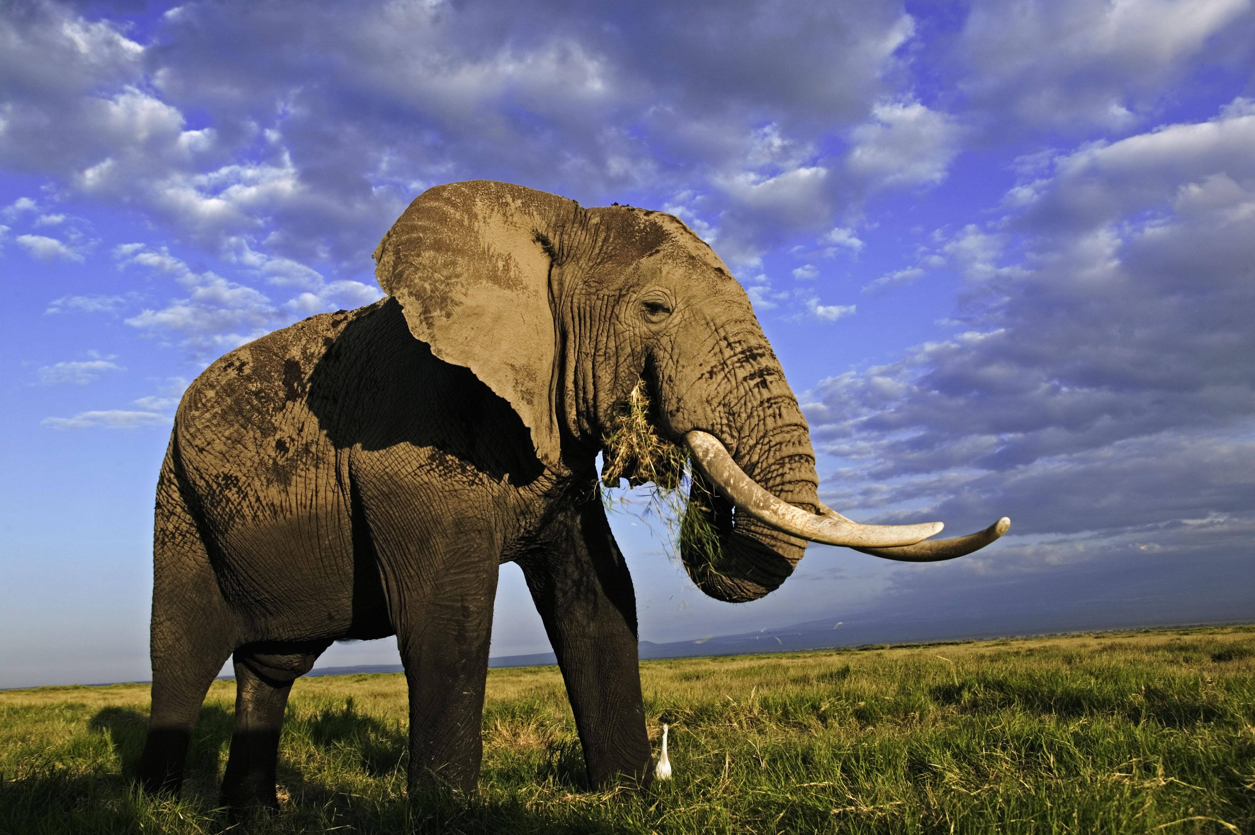 African elephant Amboseli National Park, Kenya. Distribution Sub-Saharan Africa
