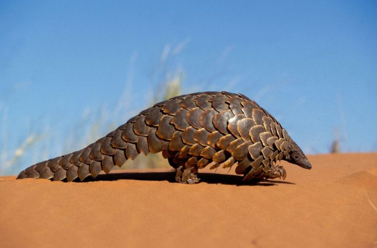 PANGOLIN, endangered animals