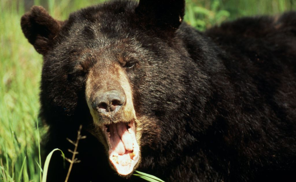 Asiatic black bear (Ursus thibetanus), with mouth open. Via: WWF