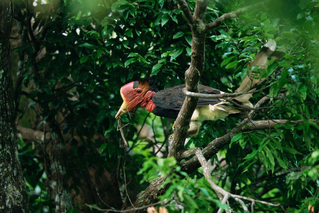 Helmeted hornbill Budo Sungai-Padi National Park, Thailand.