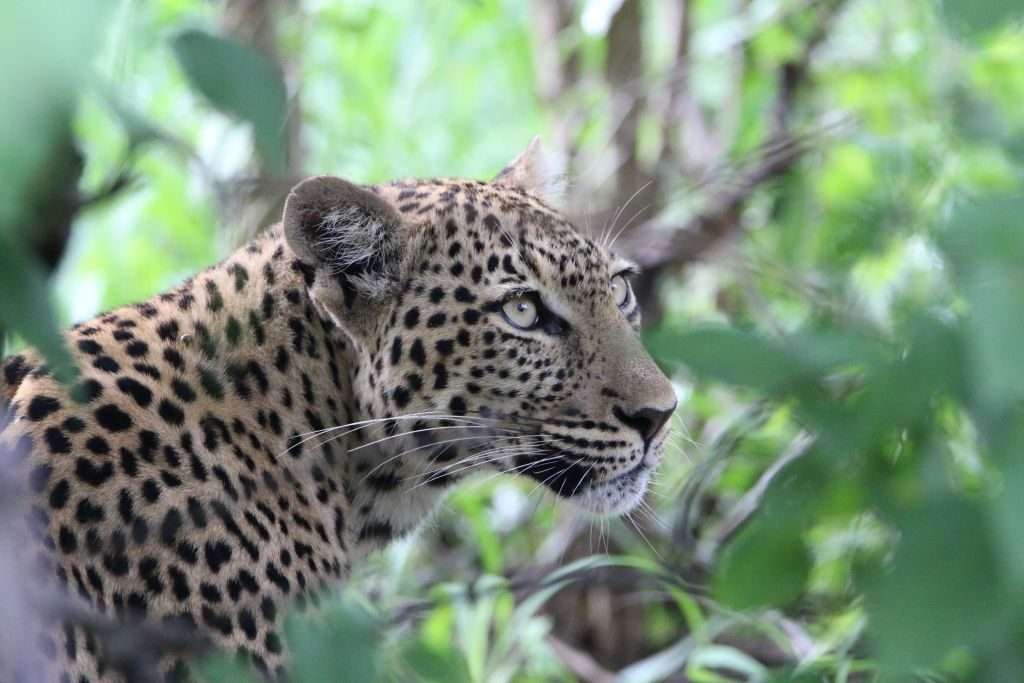 Leopard (Panthera pardus pardus) in the Chobe Game Reserve in Botswana, Africa