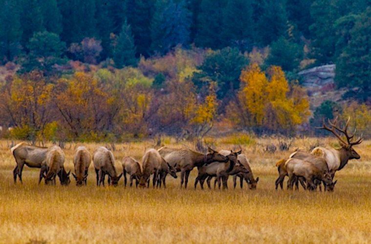 Elk Bugling, Estes Park, CO november holiday trip