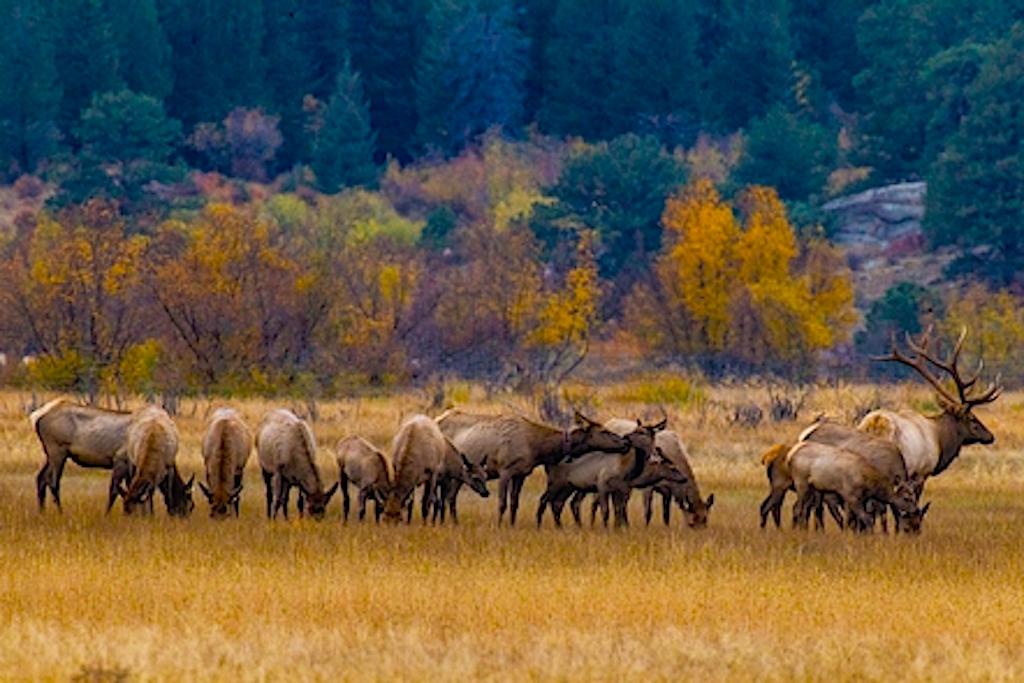 Elk Bugling, Estes Park, CO