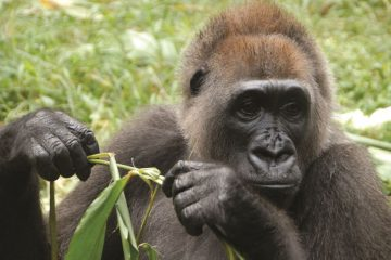 cross river gorilla -Nicky Lankester - wildlife conservation