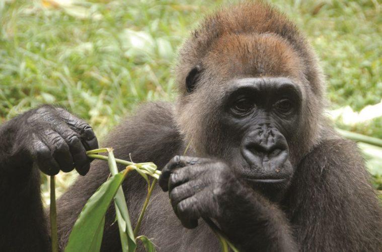 cross river gorilla -Nicky Lankester - wildlife conservation