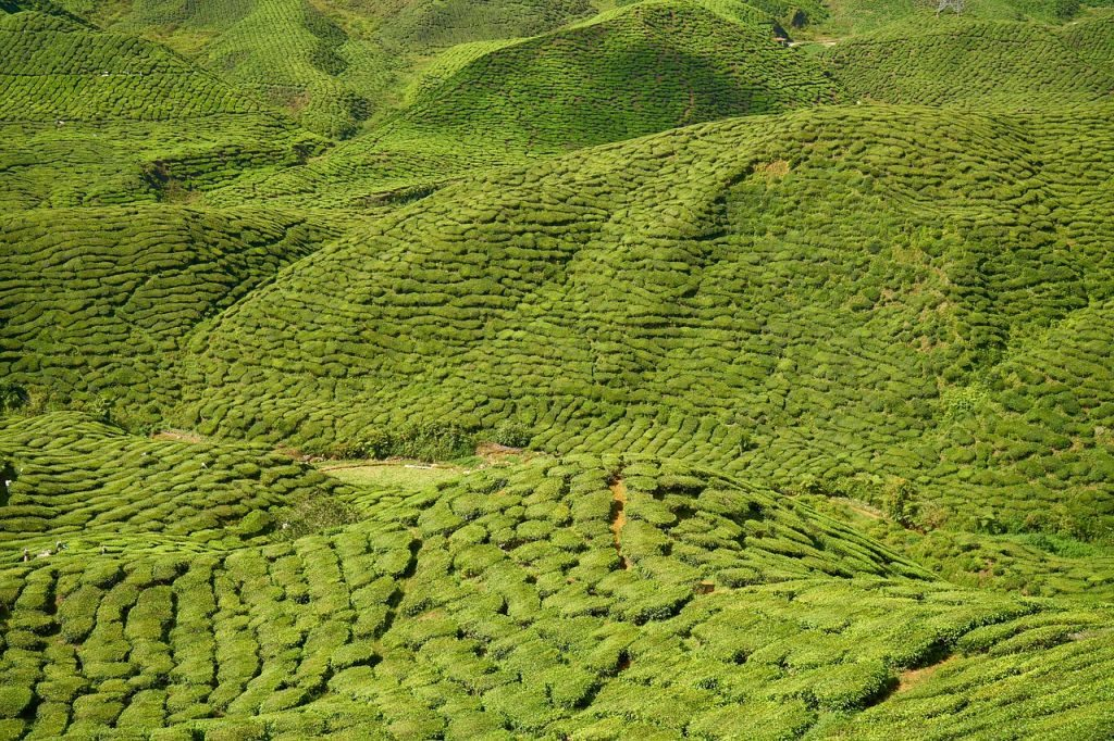 sustainable and organic tea mountainous tea plantation