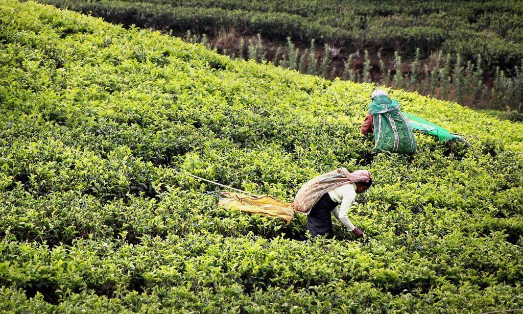 sustainable and organic tea tea harvest sri lanka