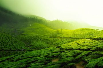 sustainable and organic tea tea plantation
