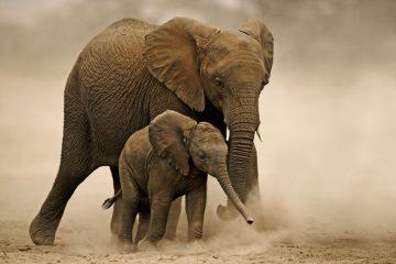 African elephant (Loxodonta africana), young calf with adult female. Amboseli National Park, Kenya. Distribution Sub-Saharan Africa