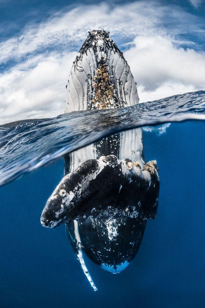 Greg Lecoeur/UPY 2018 humpack whale