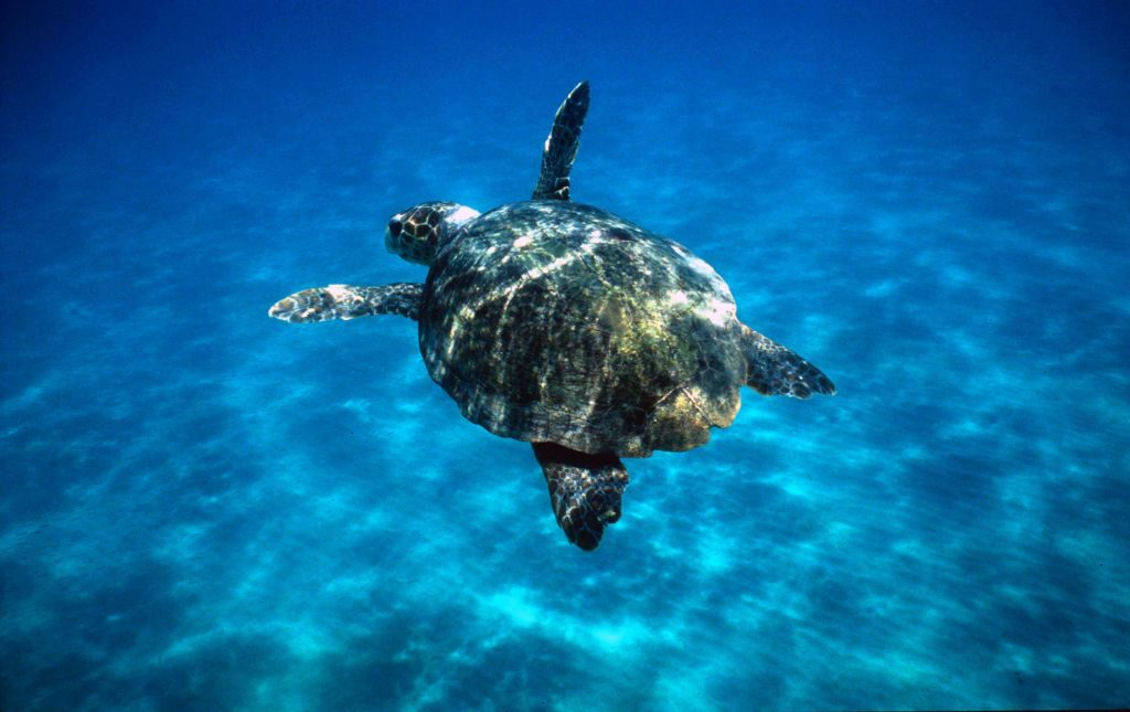 Loggerhead turtle (Caretta caretta) swimming in open sea. Zákinthos, Lagana