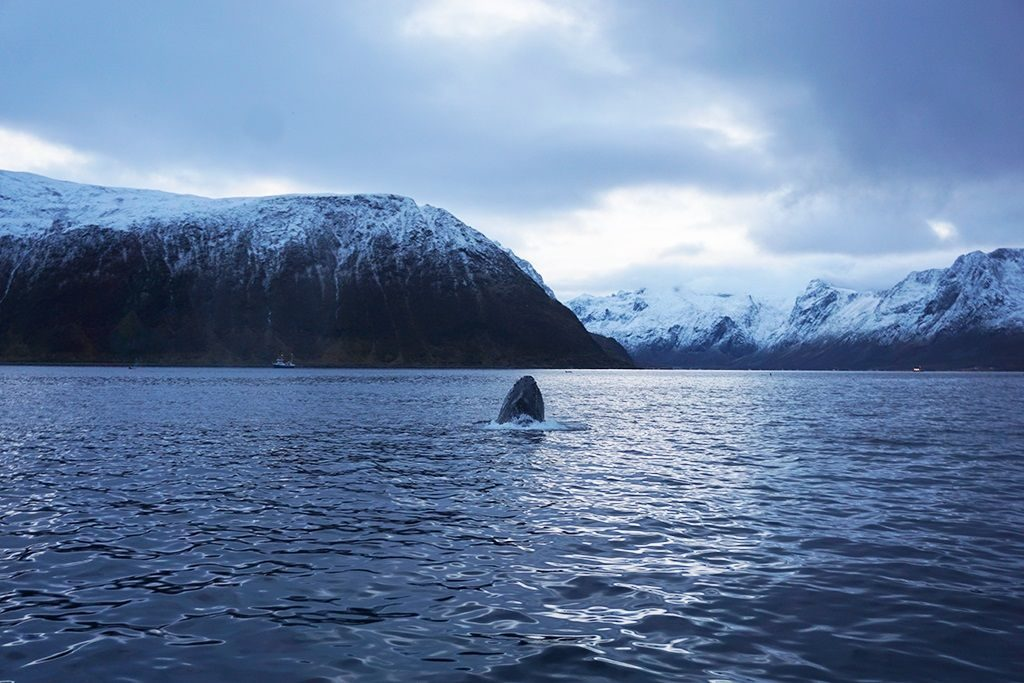 Whales norway tromso