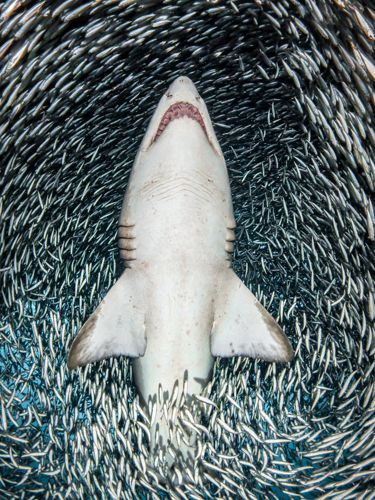 shark-TanyaHouppermans-UPY2018