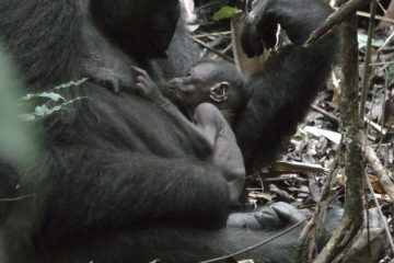 New baby gorilla