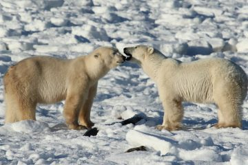 Polar Bears migrate to Churchill when temperatures are cold enough canada travel