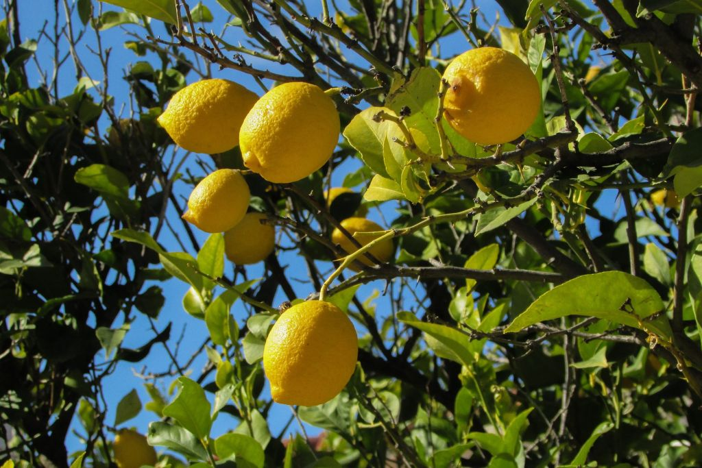Lemon trees are especially fruitful in the summer time